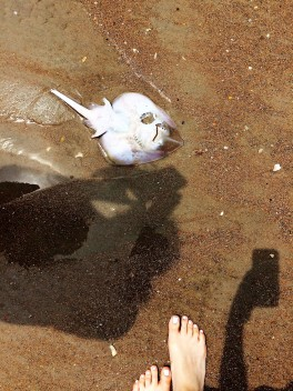 Washed up sting ray.